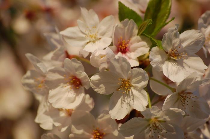 photoblog image Cherry blossoms, Tokyo, Japan