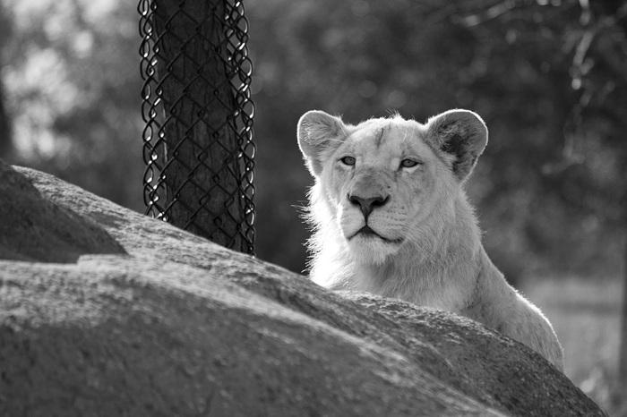 photoblog image White Lion