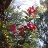Penny's Flowers...   Madinia Dipladenia...