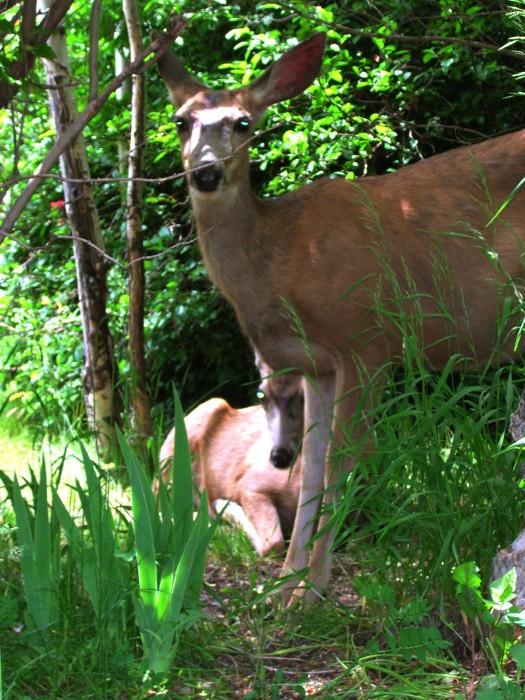photoblog image deer by Richard Lazzara
