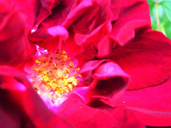 photoblog image Rose 49 by Richard Lazzara
