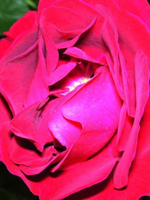 photoblog image Rose 82 by Richard Lazzara