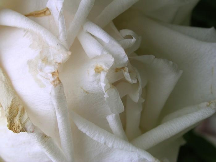 photoblog image White Rose 18 by Richard Lazzara