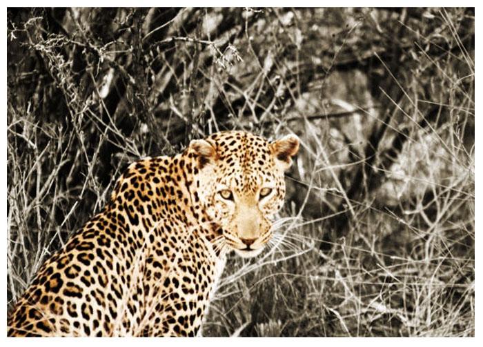 photoblog image Leopard...