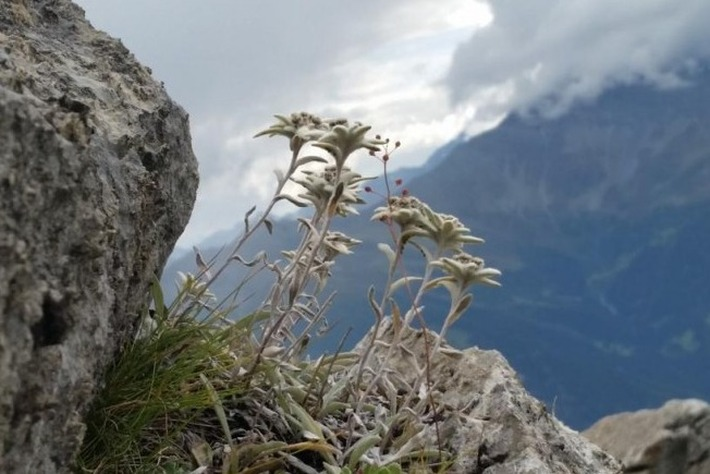photoblog image The ultimate Swiss flower