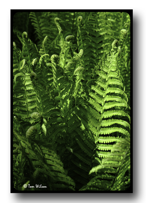 photoblog image Fern forest