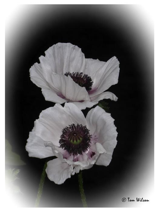 photoblog image Poppies