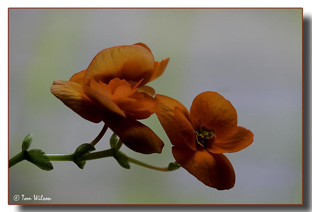photoblog image Begonia