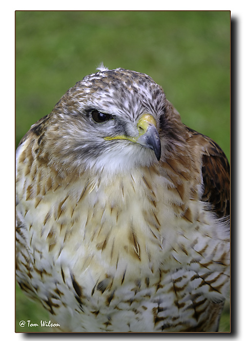 photoblog image Red-tailed hawk