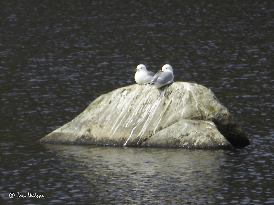 photoblog image Common Gulls