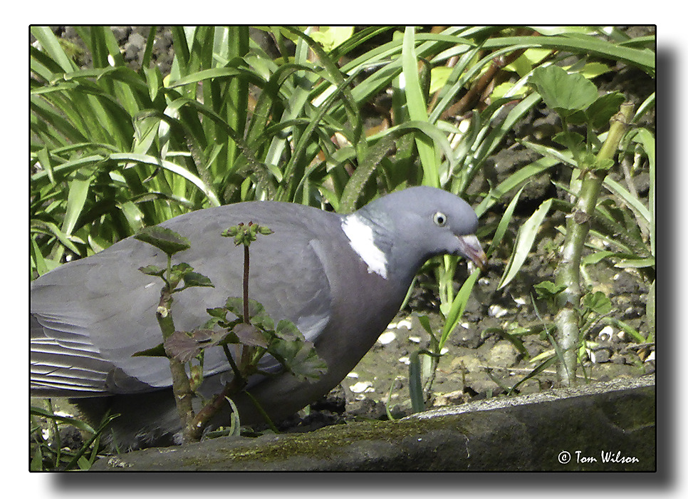 photoblog image Wood Pigeon