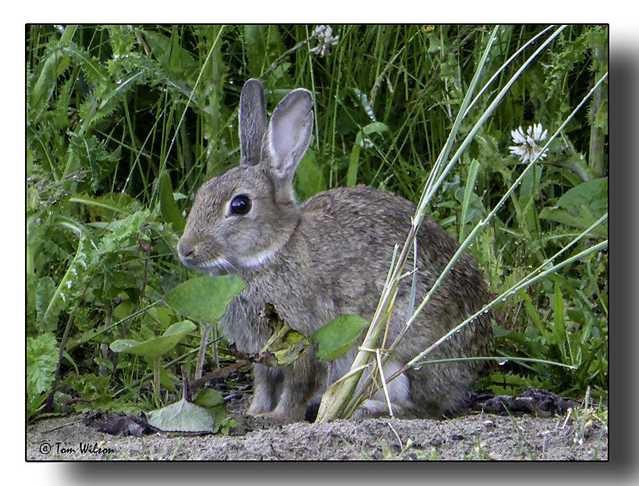 photoblog image Irish rabbit
