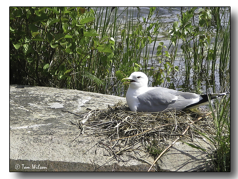 photoblog image Common Gull