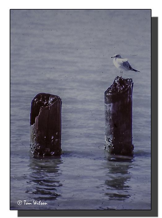 photoblog image Ring Billed Gull