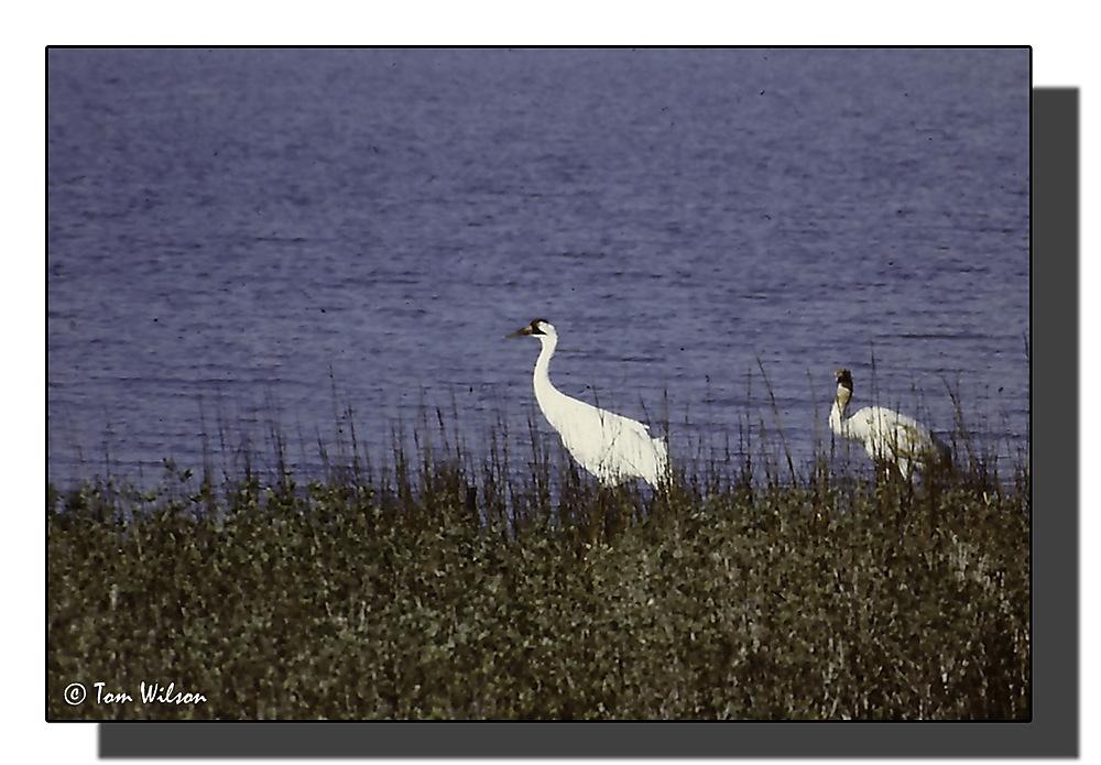 photoblog image Whooping Cranes