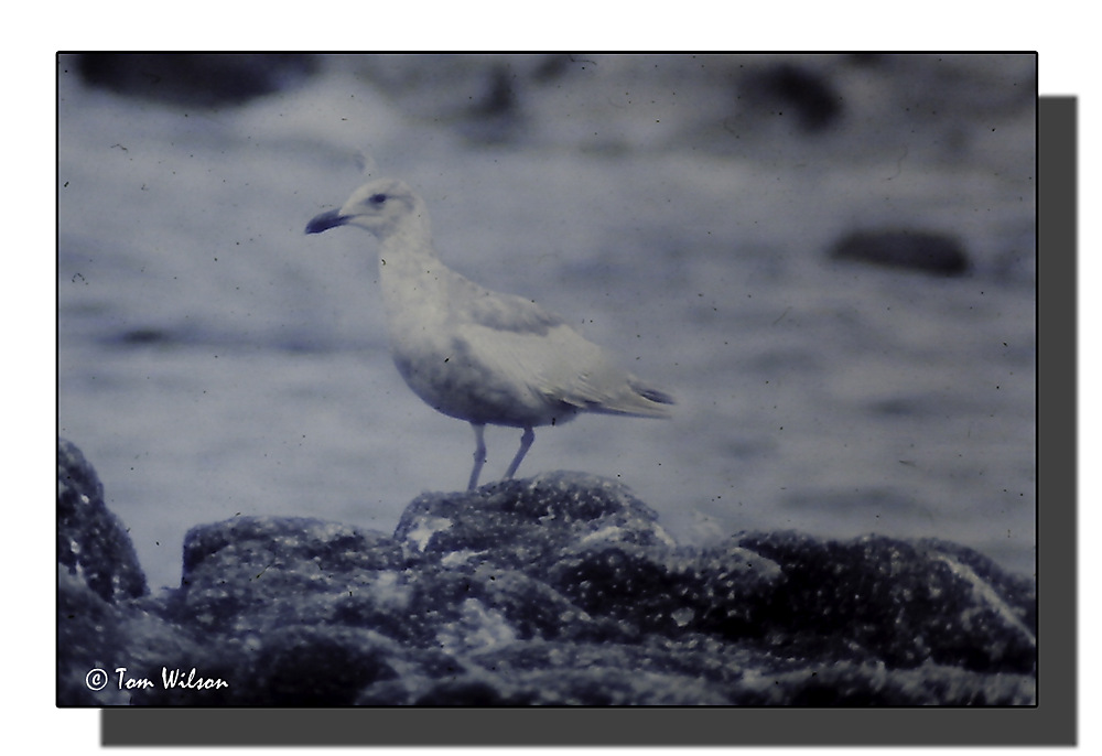 photoblog image Glaucus Gull