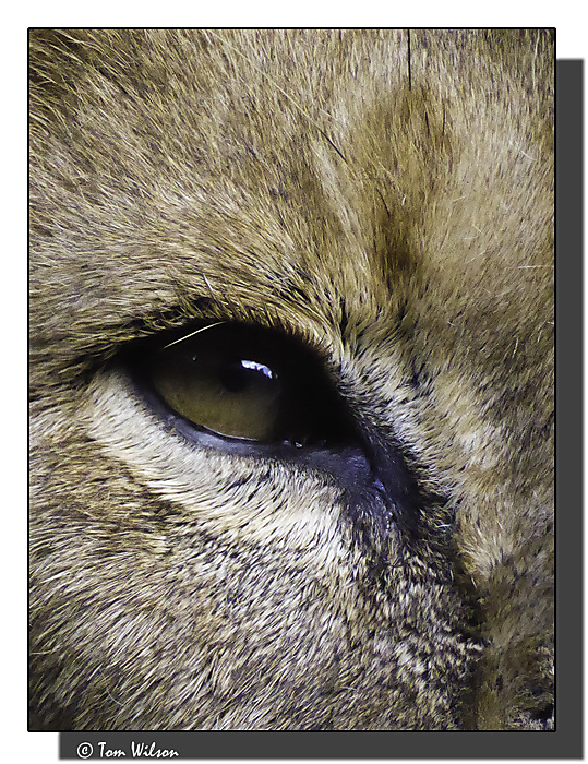 photoblog image Lion's eye