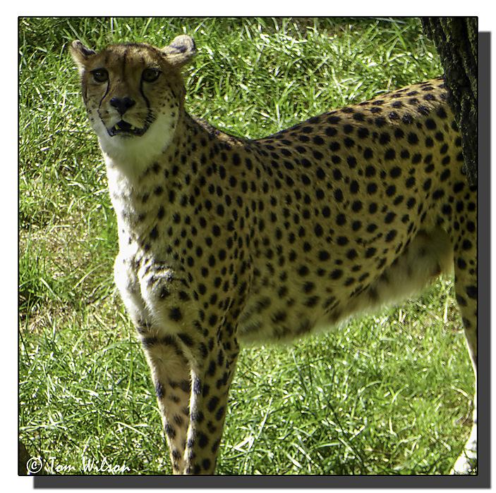 photoblog image Cheetah