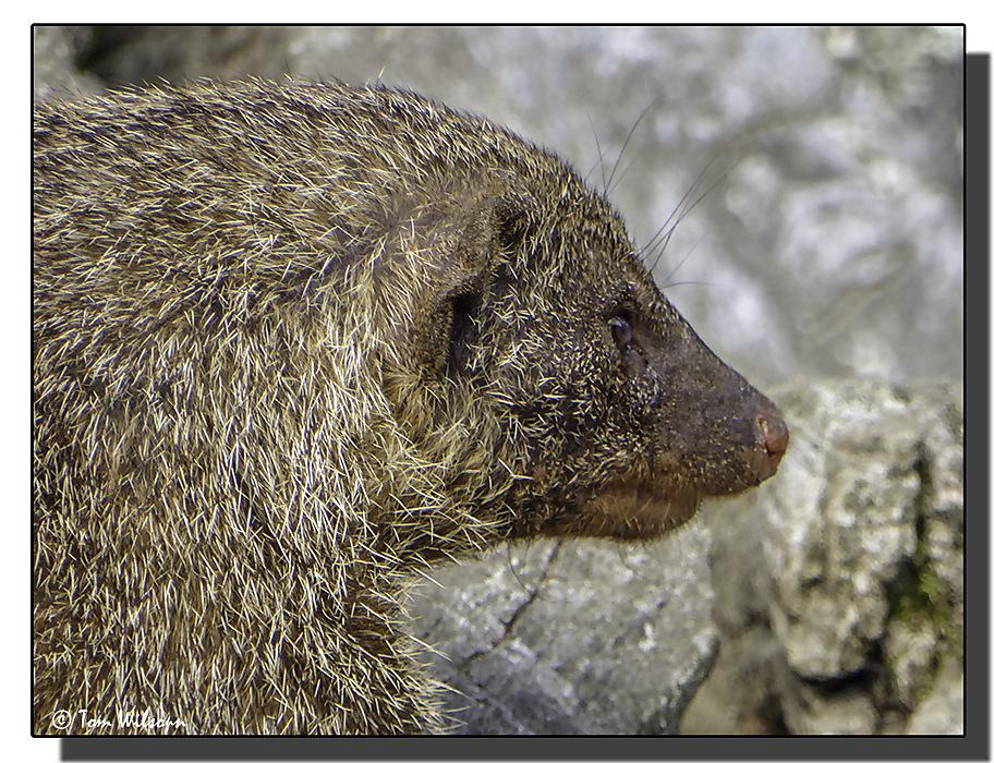 photoblog image Banded Mongoose