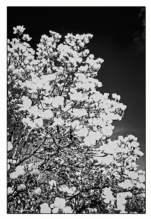 photoblog image Magnolia Blossom