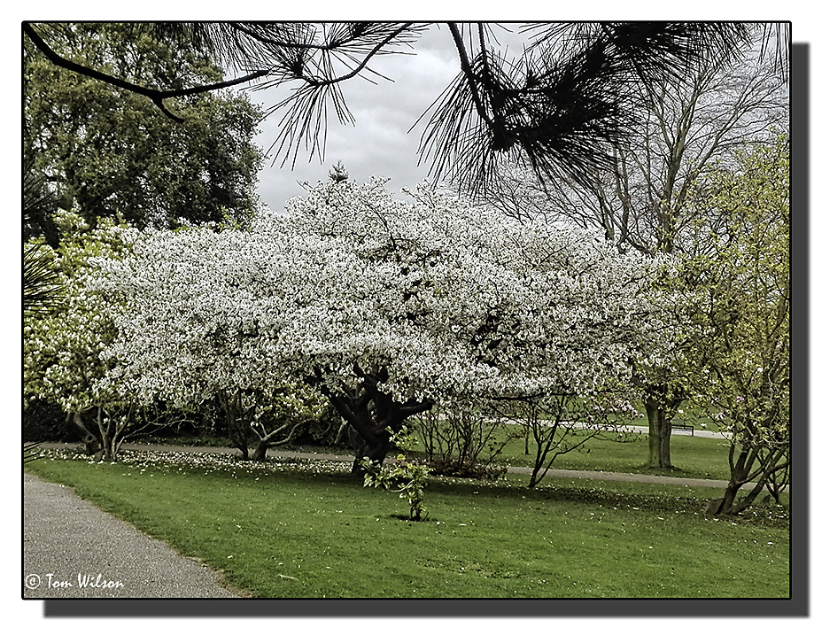 photoblog image Flowering Cherry