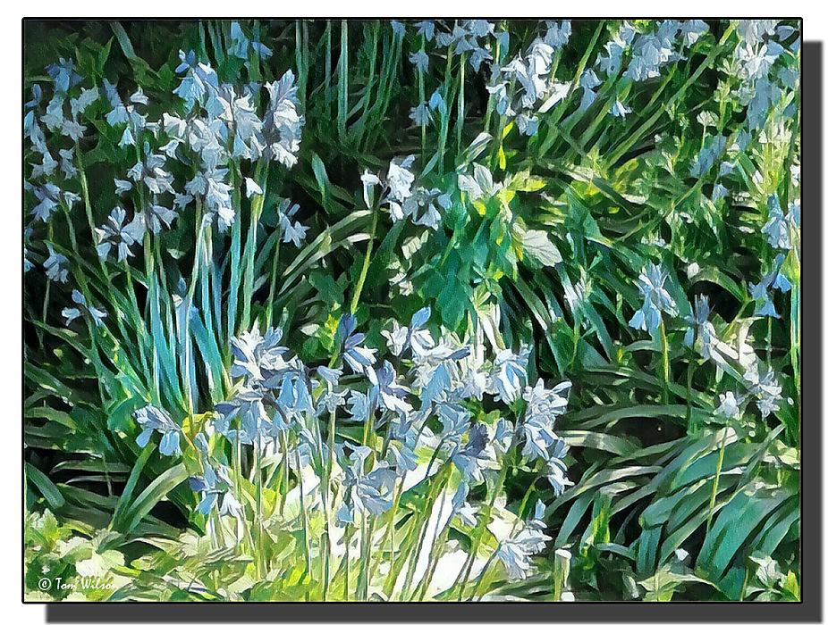 photoblog image Bluebells