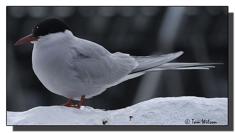 photoblog image Farne Islands Arctic Tern