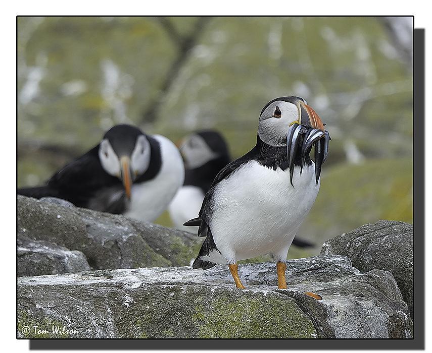 photoblog image Farne Islands - food for the chicks