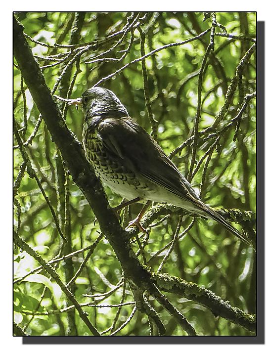 photoblog image Fieldfare