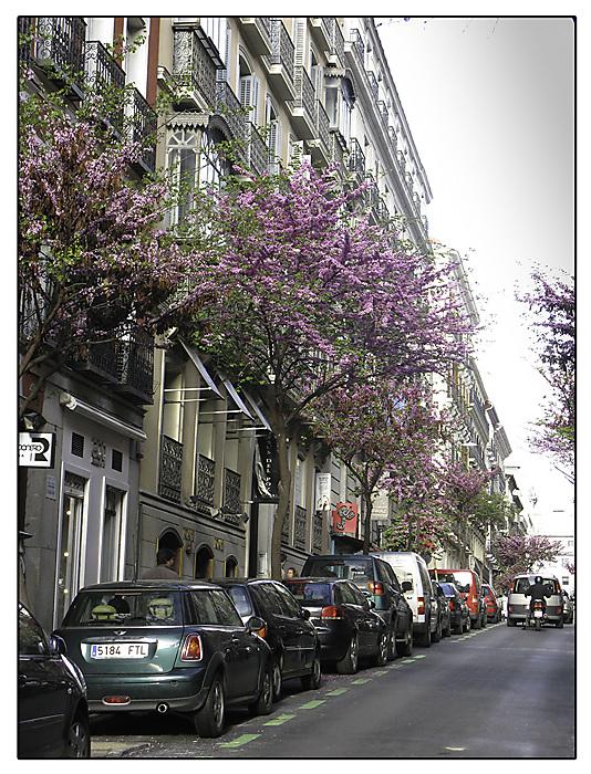 photoblog image Madrid, jacaranda,