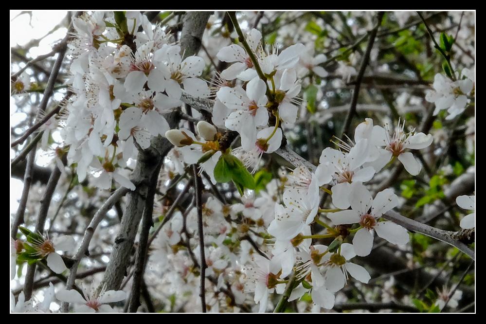 photoblog image Plum blossom