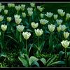 Brodsworth Hall - Tulips