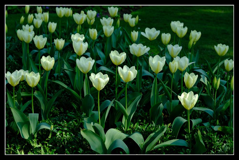 photoblog image Brodsworth Hall - Tulips