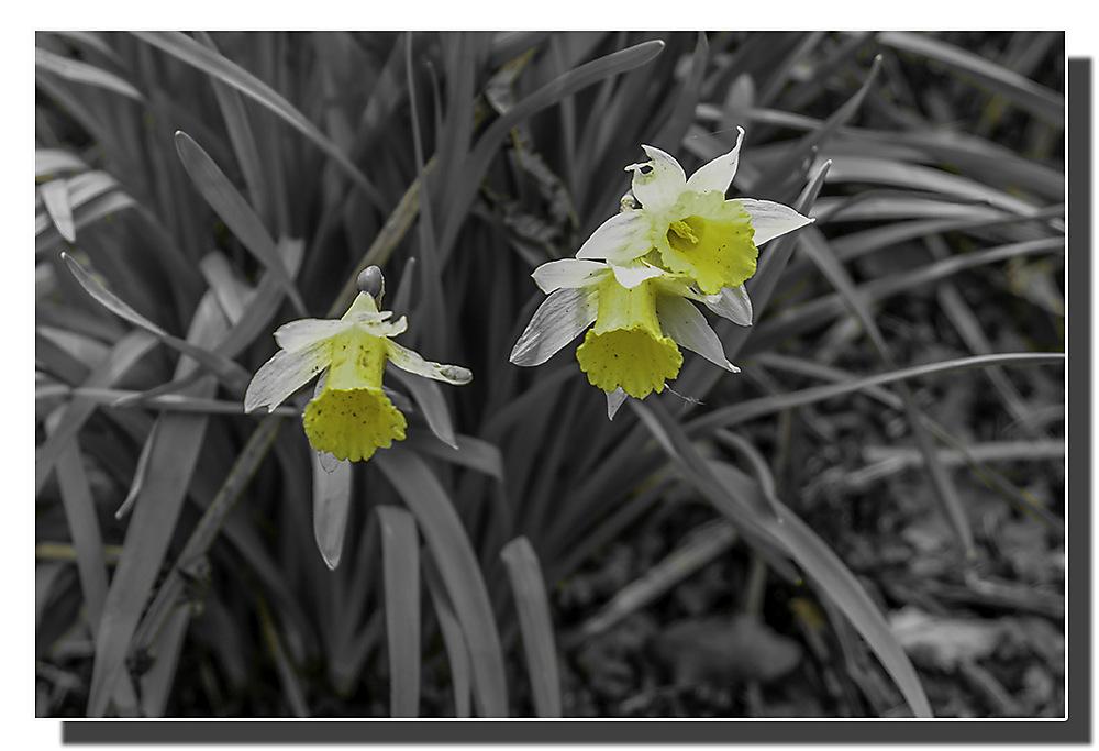 photoblog image Daffodils
