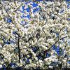 Spring in the Gardens - Bird Cherry blossom