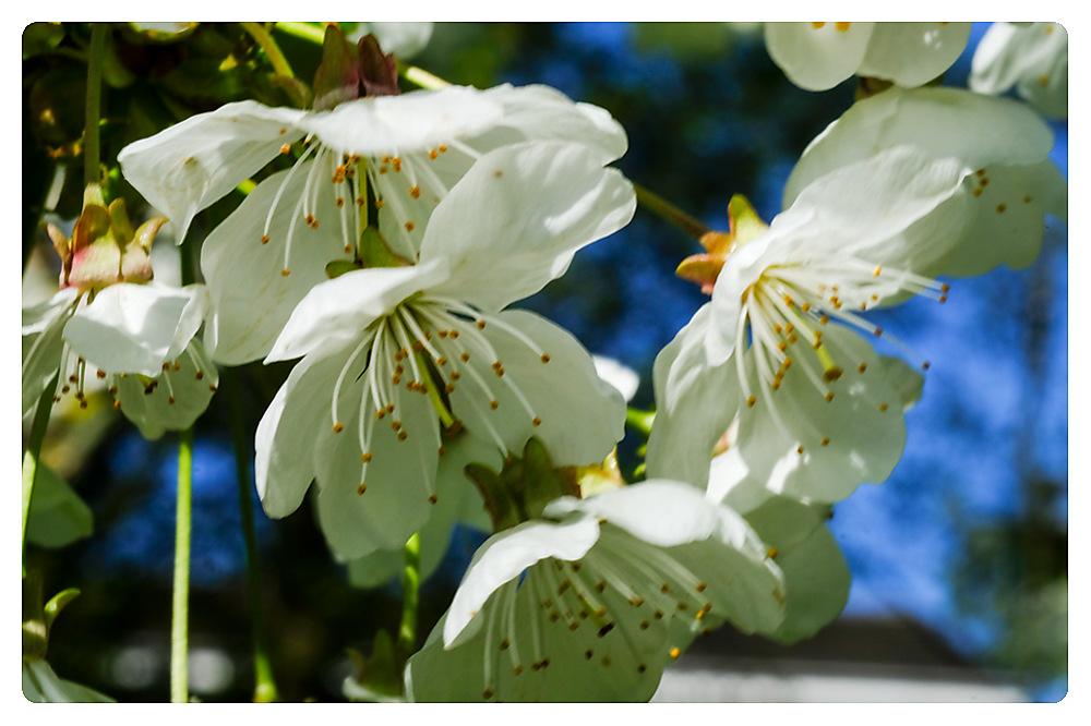 photoblog image Spring in the Gardens - Bird Cherry blossom