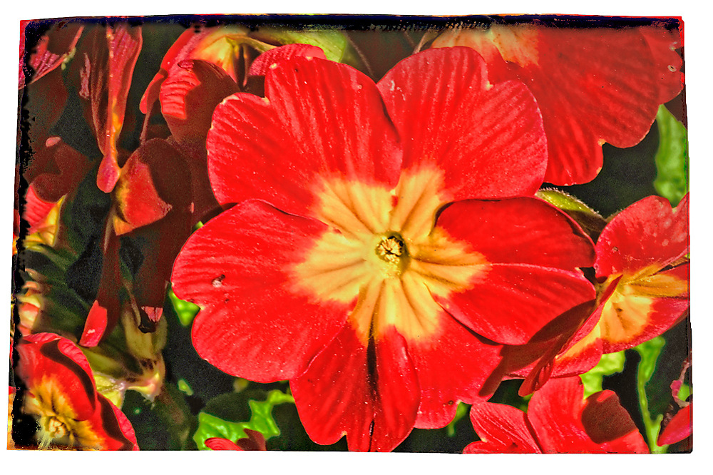 photoblog image Spring in the Gardens - Primula