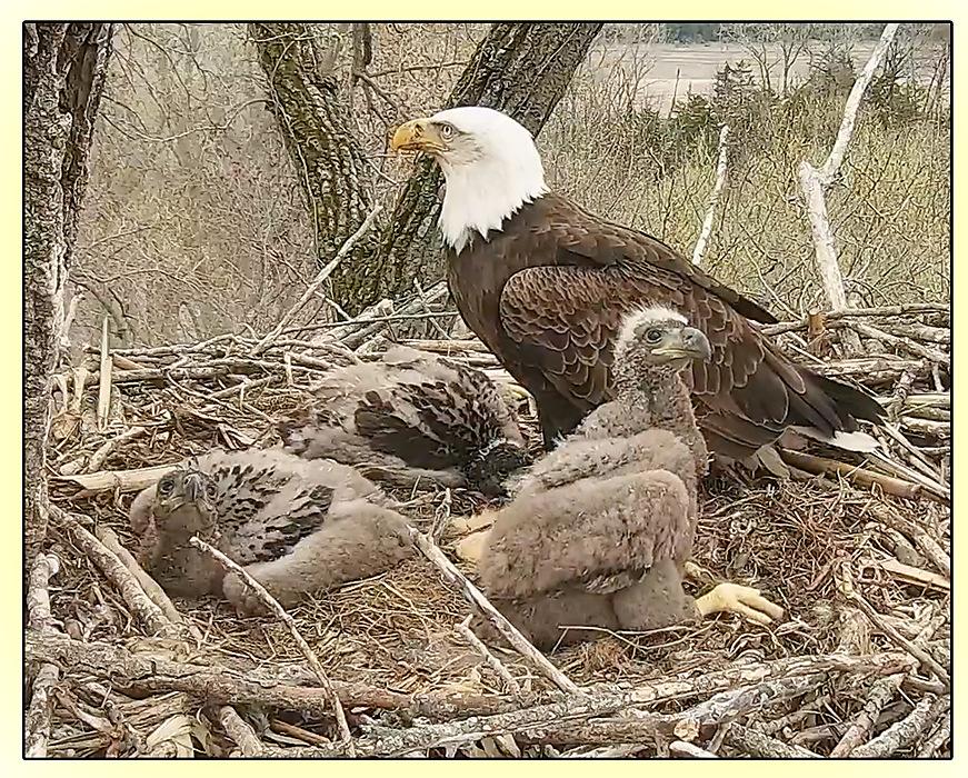 photoblog image Bald eagle and chicks
