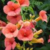 Knossos - Hibiscus?