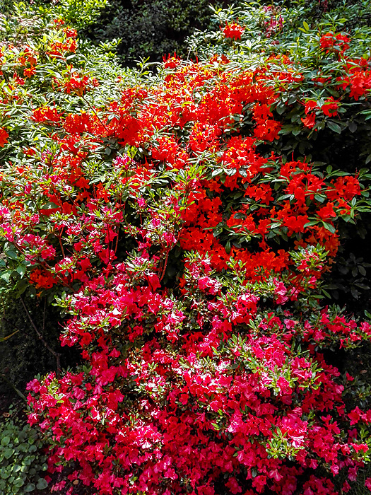 photoblog image Azalea colour blast