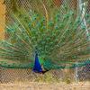 Knossos - peacock