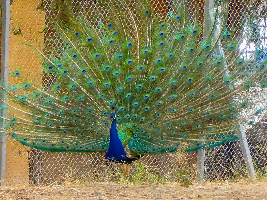 photoblog image Knossos - peacock