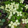 Summer flowers - Cornus Kousa