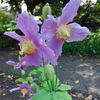 Summer flowers - Himalyan poppy