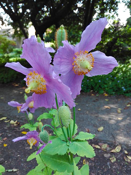 photoblog image Summer flowers - Himalyan poppy