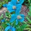 Summer flowers - Himalayan poppy