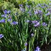 Summer flowers - iris time