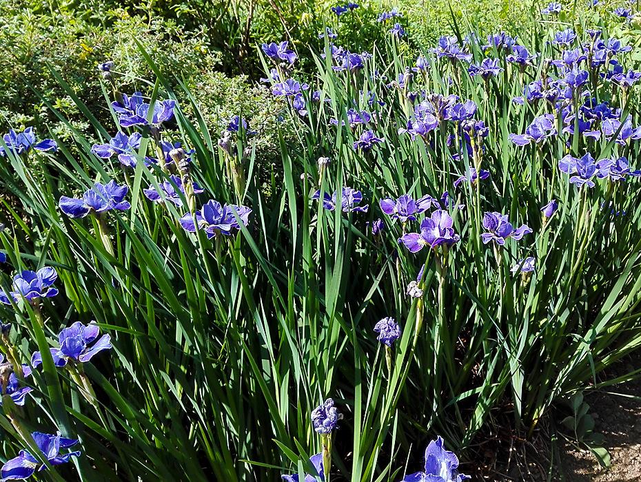 photoblog image Summer flowers - iris time