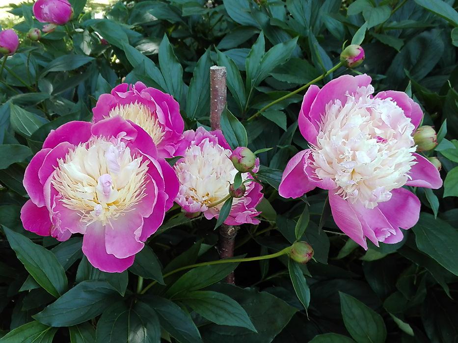 photoblog image Summer flowers - Peony