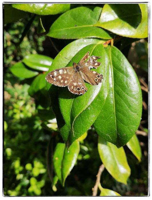 photoblog image Speckled Wood butterfly